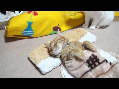 茶トラのお昼寝 Cat sleeps 2015#3