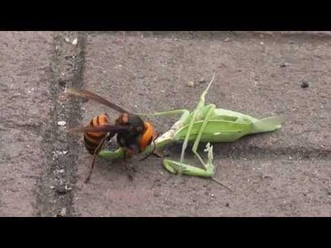 Hornet Vs Praying Mantis ガンバレ!! カマ�...