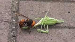 ガンバレ!! カマキリ VS スズメバチ A hornet caught a mantis