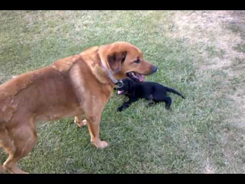 Black Lab Puppy Playing With A Huge German Shepherdlab Mix Youtube
