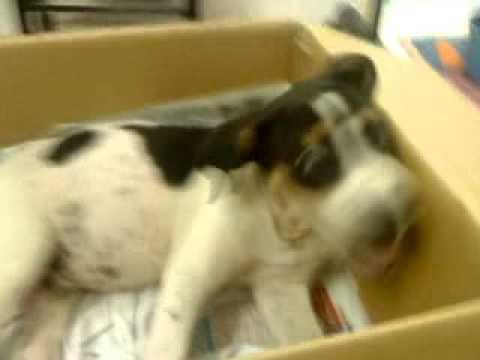 dachshund-+-dalmatian-puppy-for-adoption---4-months,-moomoo-from-kampar,-perak