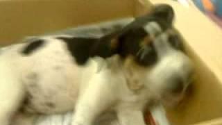 Dachshund + Dalmatian Puppy For Adoption - 4 Months, Moomoo From Kampar, Perak
