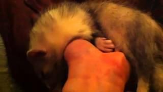 Roadkill - For Ferret Lovers