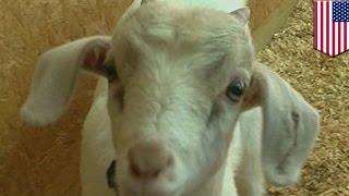 米アラバマ州でペットとして飼われているヤギが、火災から飼い主家族を...