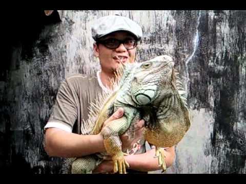 My Adult Male Green Iguana