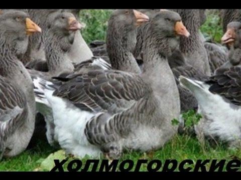 Лучшие гуси в домашнем хозяйстве