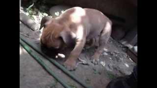 日本のオールドイングリッシュブルドッグス。 2013.3.25生まれ。短尾の...