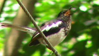 Birds of Kerala - Oriental Magpie Robin (മണ്ണാത്തിപ്പുള്ള്)