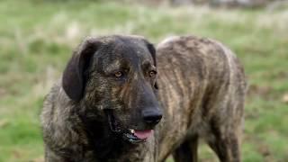 Popular Videos - Castro Laboreiro & Portuguese cattle dog