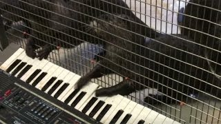 Repeat youtube video Otters rock out on a keyboard