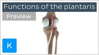 Functions of the plantaris muscle (preview) - 3D Human Anatomy | Kenhub