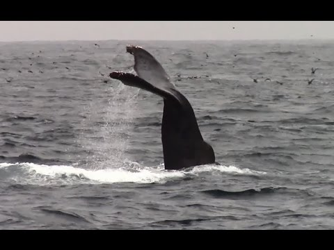 7.26.14 Humpback Whales & Long Beaked Common Dolphins