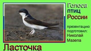 Ласточка. Голоса птиц Росии