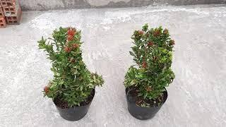 Cập hoa trang màu đỏ hình con công 500k một cập 4/8/2020(0939859799_0939759949)