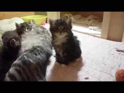 ❤ Norwegian Forest Cat kittens ❤ Fargo litter ❤ 1 month old ❤