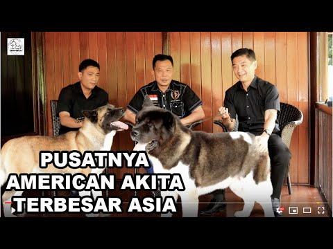 Pusatnya Anjing American Akita TERBESAR di Asia Tenggara Ada Disini!!!