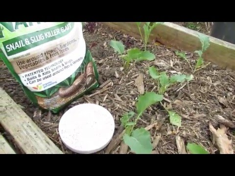 MFG 2016: (1 of 8) Garden Pests and Diseases - Slug & Snail Damage/Treatment with Iron Phosphate