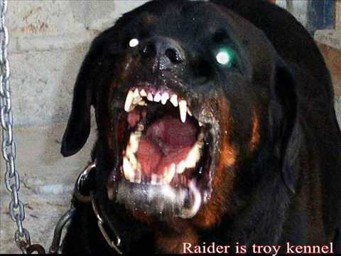 Rottweiler attack - YouTube