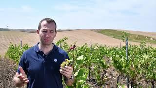 Vendemmia dello Chardonnay
