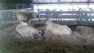 Natuurlijke geboorte bij Blonde d'Aquitaine