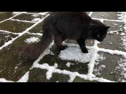 An introduction to snow for a Siamese and Norwegian Forest cat