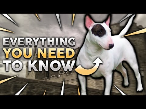 BULL TERRIER 101! Everything You Need To Know About Owning a Bull Terrier Puppy