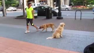 Labrador Retrievers Harley & Piper In Uptown Charlotte