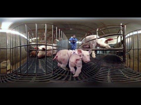 История жизни свиньи. 360° (русская озвучка)
