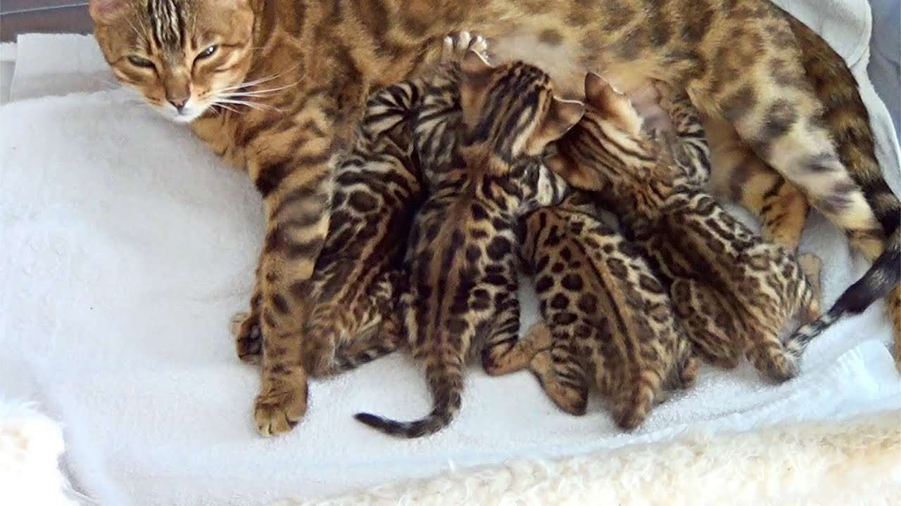 Mother Cat And Kittens 🐱 Bengal Kittens 4.5 Weeks - YouTube
