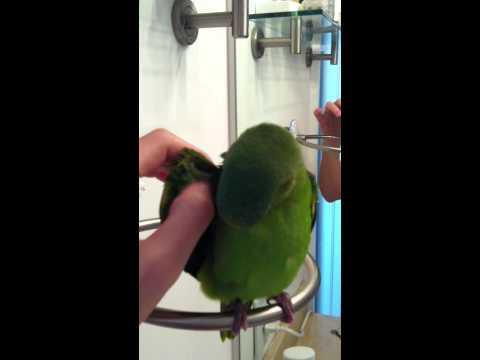 Petipua singing - Cobalt-winged Parakeet (Brotogeris cyanoptera)