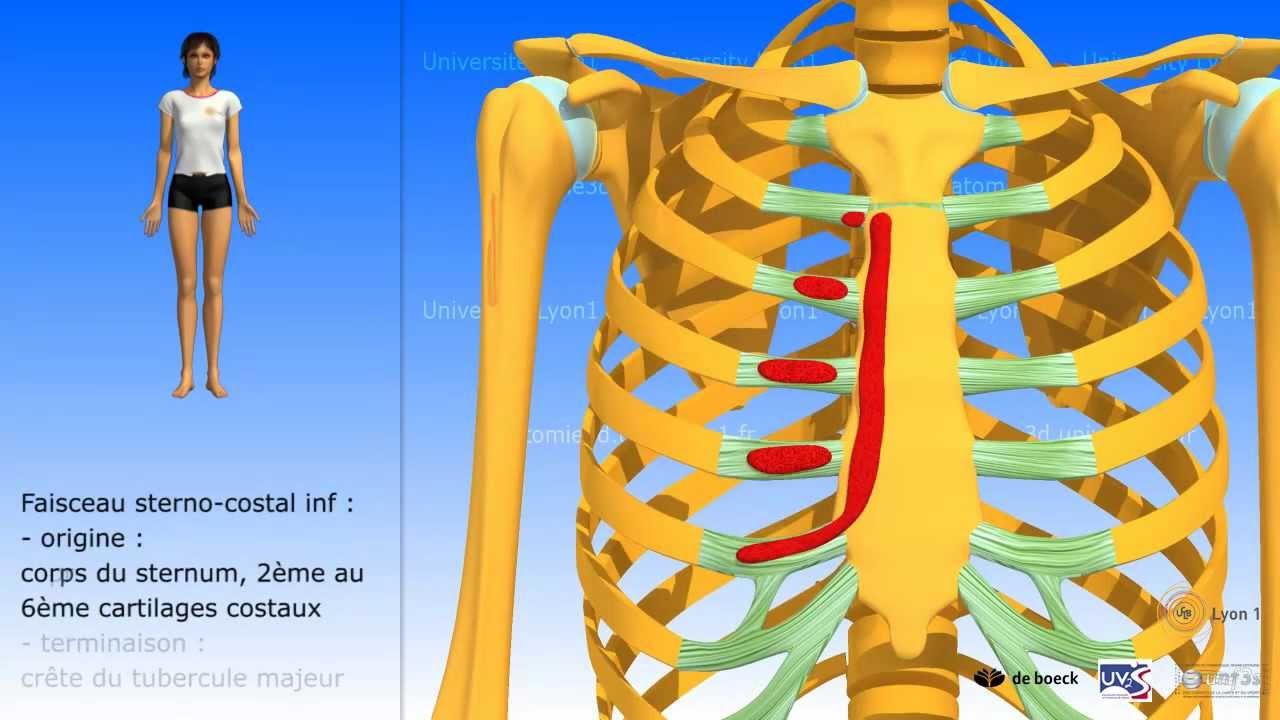 muscle grand pectoral description et rapports youtube