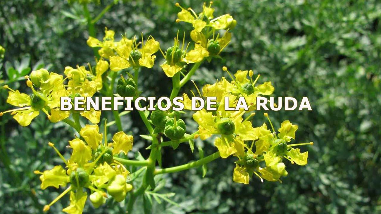 BENEFICIOS DE LA RUDA