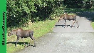 3 Moose Twins and Mother Moose in my Yard Alaska