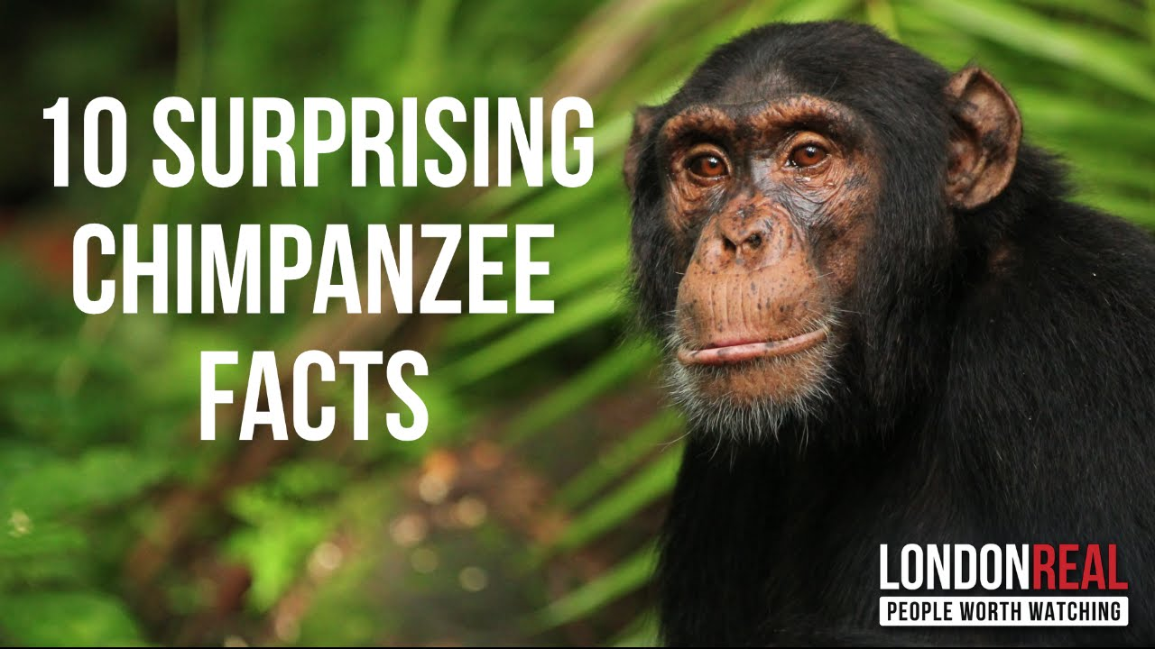 10 SURPRISING CHIMPANZEE FACTS - Dr. Jane Goodall on London Real ...