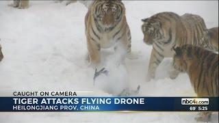 Tiger attacks flying drone