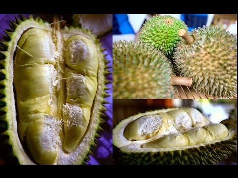 Wild Durian grow in Singapore Jungle!!