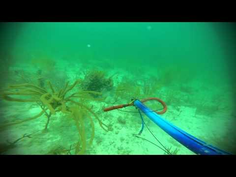 Lobstering, Spearfishing and Snorkeling Biscayne Bay Florida