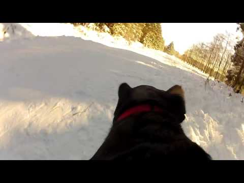 Greater Swiss Mountain Dog Zenzi playing in the snow // GoPro Fetch