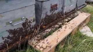 Production du miel en montagne, visite des ruches par l