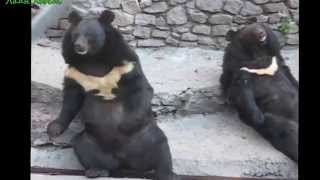Подборка видео приколов с медведями Смешное видео Ржака