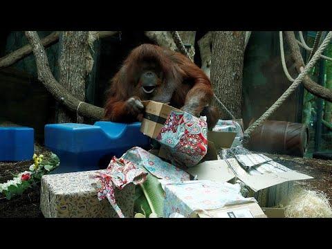 Fransa'nın en ünlü orangutanı Nenette'ye 50. doğum günü kutlaması