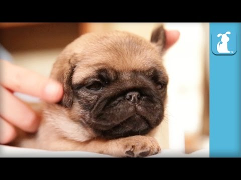 If You Know A Pug Puppy Do This To His Ears - Puppy Love