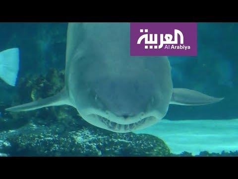 صباح العربية | إماراتي يصطاد 3 أسماك قرش  - نشر قبل 1 ساعة