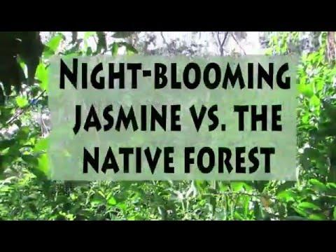Night-blooming Jasmine vs The Hawaiian Native Forest