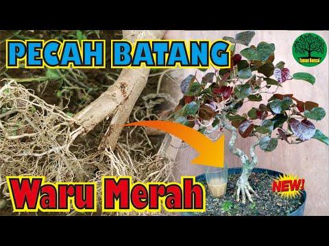 pecah-batang-waru-merah-||-program-akar-bonsai-waru-tahap-awal