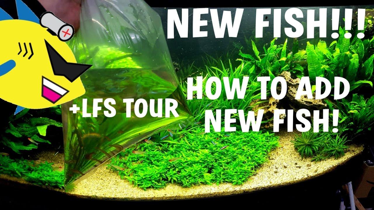 Freshwater fish acclimation - New Fish How To Acclimate New Aquarium Fish Lfs Tour