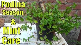 How to Grow Podina & Growing Season of Mint (Desi Podina)