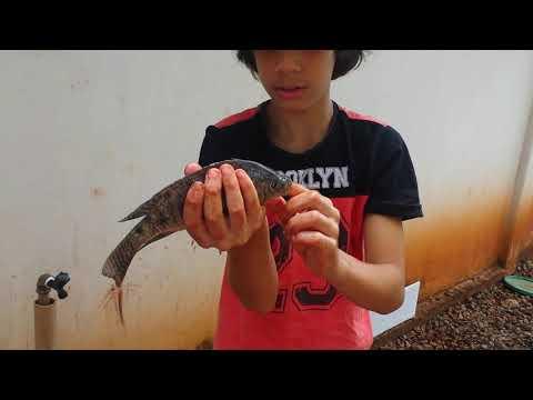 mostranndo  os peixes de Terra Roxa PR (parte 5)