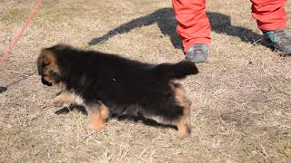 Tulip - German Shepherd Dog Puppy for sale