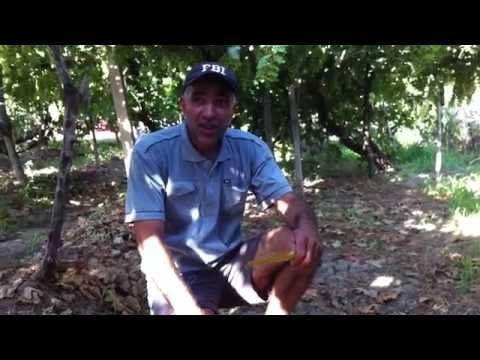 Нагрузка виноградного куста в Армении .